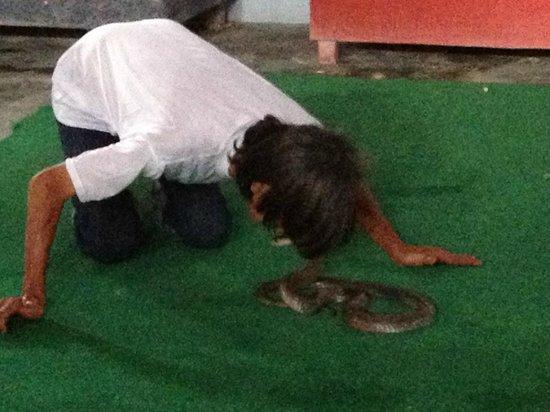 Samui Snake Farm: kissing a cobra
