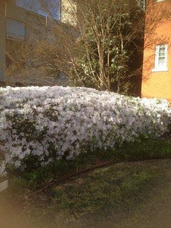 Artmore Hotel: Beautiful azalea bush!