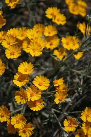 Chihuahuan Desert: Flowers of Big Bend Nat'l Park