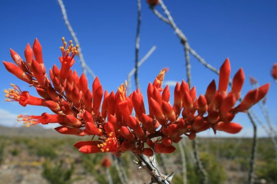 Chihuahuan Desert: Flowers of Big Bend Nat'l Park