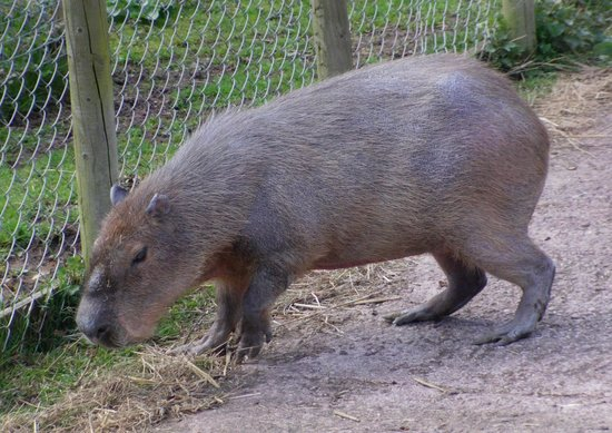 Birmingham Wildlife Conservation Park: capybara (biggest rat we've seen)