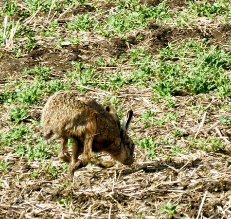 Harvest View Bed and Breakfast : Hare in adjoining field