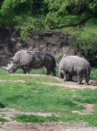 Safari West: white rhinos on the jeep tour
