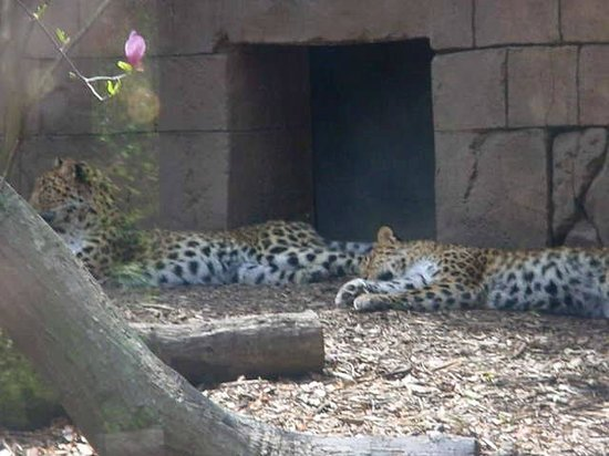 Greenville Zoo: The Leopards
