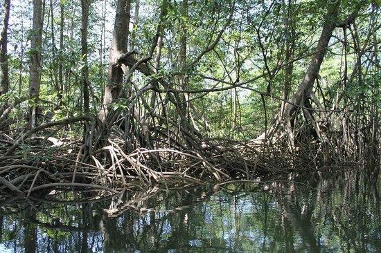Finca Buena Vista: Mangovenwald