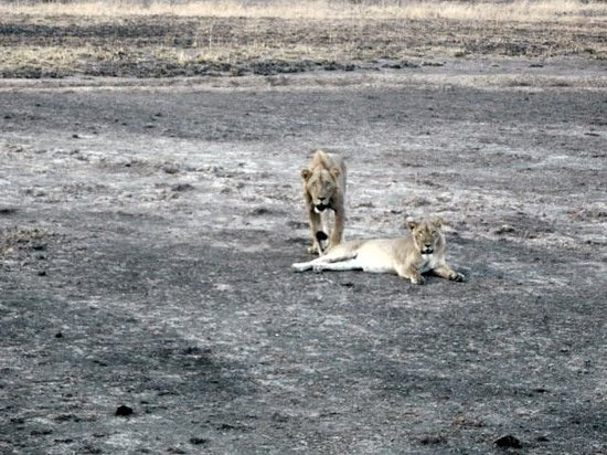 Benín: Lions exhausted but happy after mating