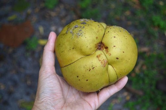 The Kampong : Elephant fruit
