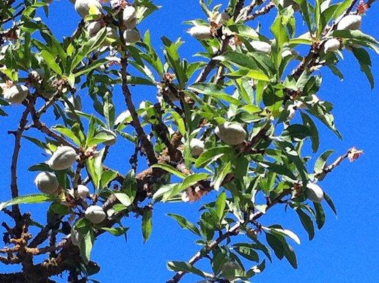 Seven Quails Vineyards Bed & Breakfast: Almonds