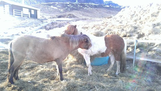 Hraunsnef Country Hotel: Ponies shedding their winter coats