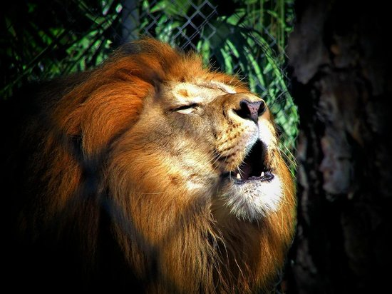 Naples Zoo at Caribbean Gardens: Lion roaring at the zoo