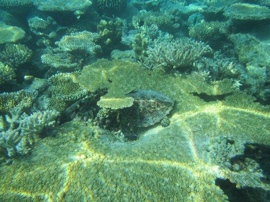 Vilamendhoo Island Resort & Spa: turtle