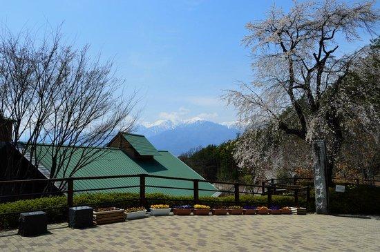 Komagane Silk Museum : エントランス前の枝垂桜 (後に見えるのは駒ヶ岳)