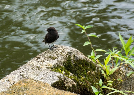 Arenal Manoa Hotel: A small black phoebe by the pond