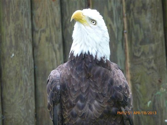 Ellie Schiller Homosassa Springs Wildlife State Park: Bald Eagle with damaged wing