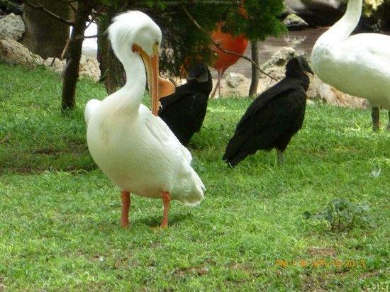 Ellie Schiller Homosassa Springs Wildlife State Park: American White Pelican