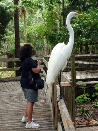 Ellie Schiller Homosassa Springs Wildlife State Park: Great Egret next to wife