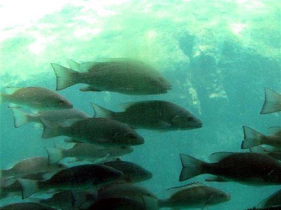 Ellie Schiller Homosassa Springs Wildlife State Park: Many fish around observatory