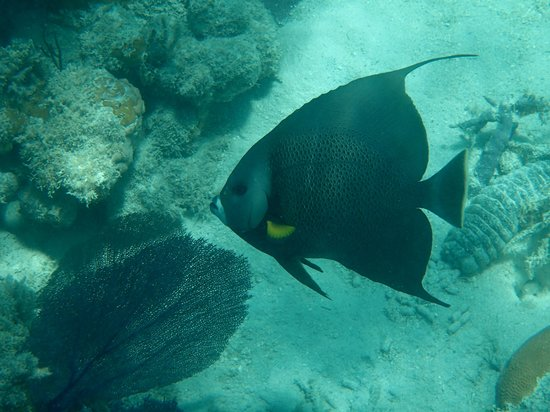 Parguera Water Sports and Adventures: Angel Fish
