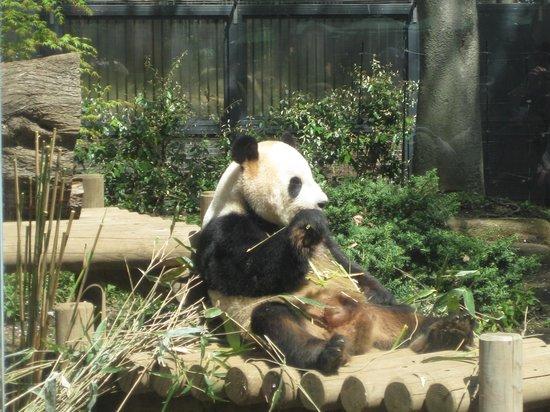 パンダさんと笹の葉ウンチ - Picture of Ueno Zoo, Taito - TripAdvisor