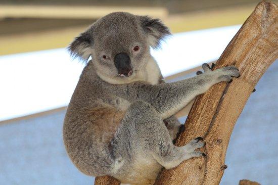 photo opportunity cohunu koala park byford tripadvisor. Black Bedroom Furniture Sets. Home Design Ideas