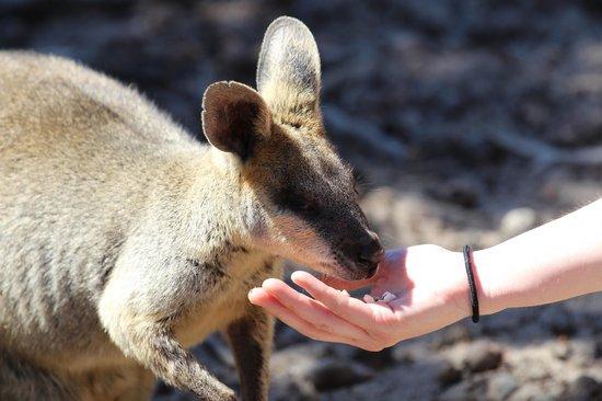 Cohunu Koala Park: Wallaby