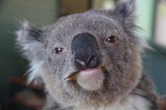 Cohunu Koala Park: Koala