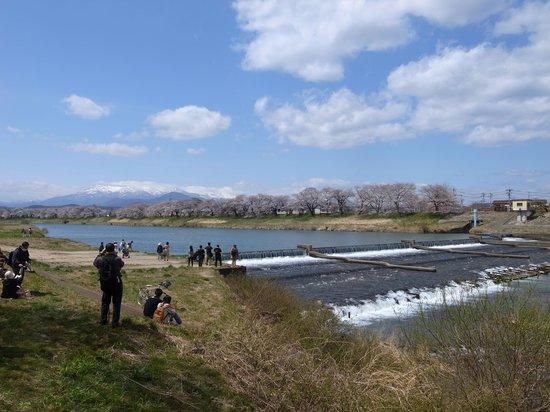 Shiroishigawa Embankment Hitome Sembonzakura: 蔵王も見える