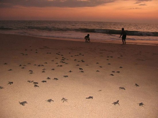 Max Wadiya : guests helping to release turtle hatchlings into the sea