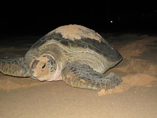 Max Wadiya: Giant Green turtle laying her eggs on our beach
