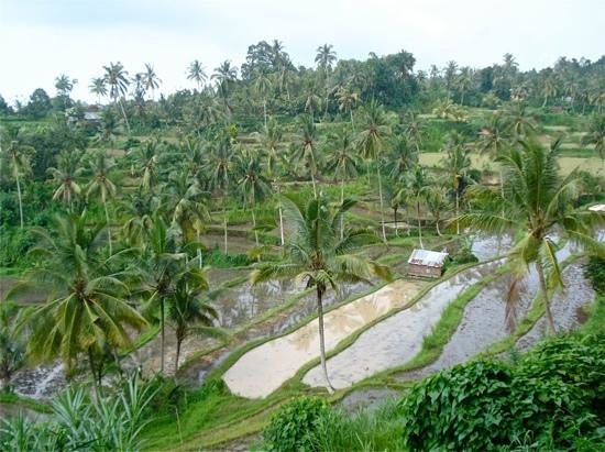Rice field at the compound of OmUnityBali.........!