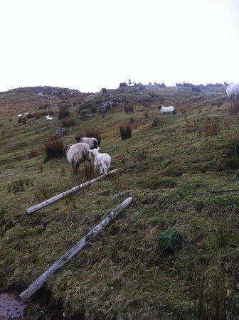Killary Sheep Farm: sheep!