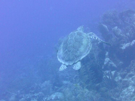 Bonaire East Coast Diving: Greenback Turtle