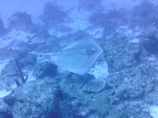 Bonaire East Coast Diving: Southern Stingray
