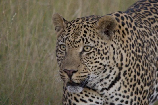Sabi Sabi Selati Camp: beautiful leopard