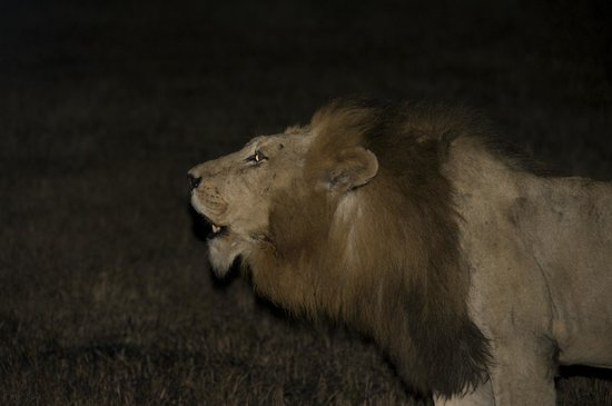 Sabi Sabi Selati Camp: morning lion roar
