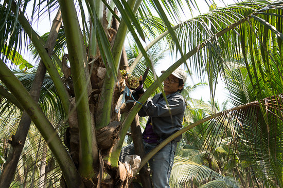 Coconut Sugar Farm: Подрезание цветов кокосовой пальмы