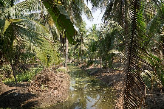 Coconut Sugar Farm: Кокосовая роща