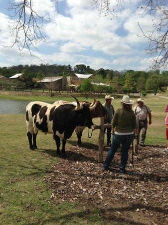 Hyatt Regency Lost Pines Resort & Spa: Cattle on the property at Lost Pines Resort