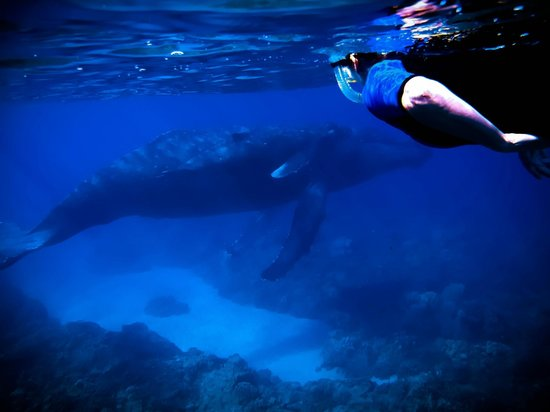 Maui Snorkel Tours: Humpback Whale & calf glide past us while on lesson