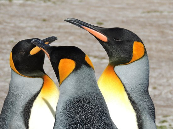 East Falkland, Ilhas Malvinas: 3 x King Penguins