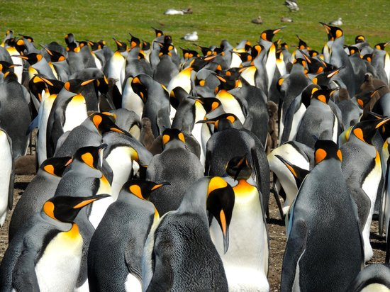 ‪‪East Falkland‬, جزر فوكلاند: A very small part of the main King Penguin colony‬