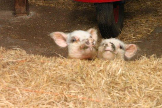 Highfields Farm Bed & Breakfast: Micro-pigs