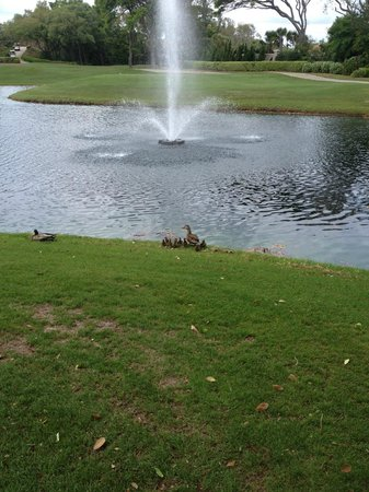 The Ritz-Carlton, Amelia Island: Ducklings on the golf course