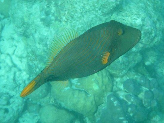 Kuramathi Island Resort: Orange lined Trigger fish