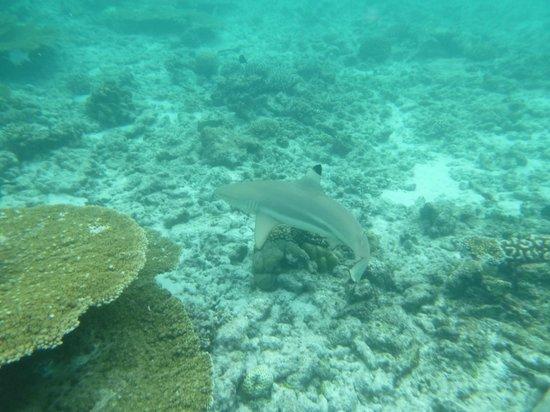 Kuramathi Island Resort: Black Tipped Reef Shark
