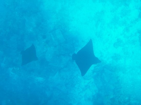 Kuramathi Island Resort: Eagle Rays that patrolled for at least 3 hours of channel 4
