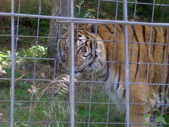 Turpentine Creek Wildlife Refuge: Here kitty, kitty....