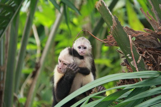 Copa de Arbol Beach and Rainforest Resort: White Faced Capuchin at Copa de Arbol