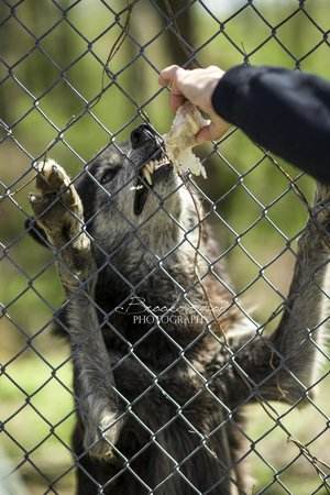 Wolf Sanctuary of PA : Wolves should never be kept as pets (these big teeth are just one reason!)
