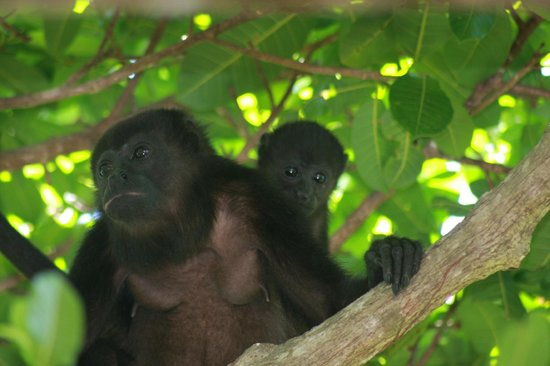 Hotel Punta Islita, Autograph Collection: howler monkeys